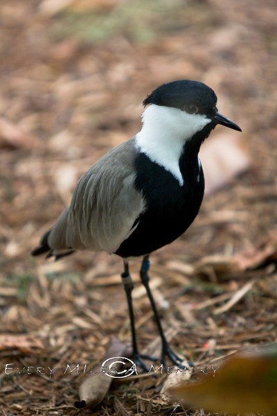 Spur-Winged Plover @ The Detroit Zoo