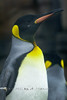 King Penguin @ The Detroit Zoo