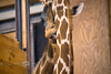 26 year old Ajax, one of the oldest living Giraffe's giving the resident female giraffe a cleaning @ The Detroit Zoo