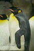 Group of King Penguins @ The Detroit Zoo