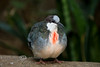 Bleeding Heart Pigeon @ The Detroit Zoo