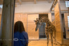 New Giraffe being introduced @ the Detroit Zoo
