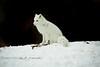 Artic Fox Sitting on a Ridge in the Snow - Detroit Zoo, Michigan