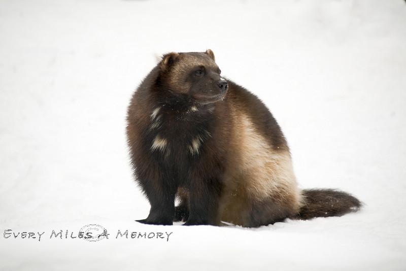 Wolverine Enjoying the Winter Weather of Michigan - Detroit Zoo