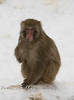 Japanese Macaque sitting in the Snow @ The Detroit Zoo