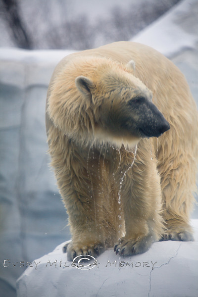 Just coming out of the Water - Polar Bear @ The Detroit Zoo