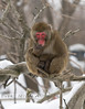 Snow Monkey Contemplating his next move - Detroit Zoo