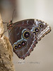 Beautiful Designs on the Wings of a Newly Hatched ZButterfly - Detroit Zoo
