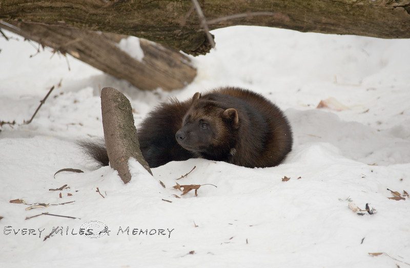 Interupting the Nap of a Wolvering - Not a Good Idea - Detroit Zoo