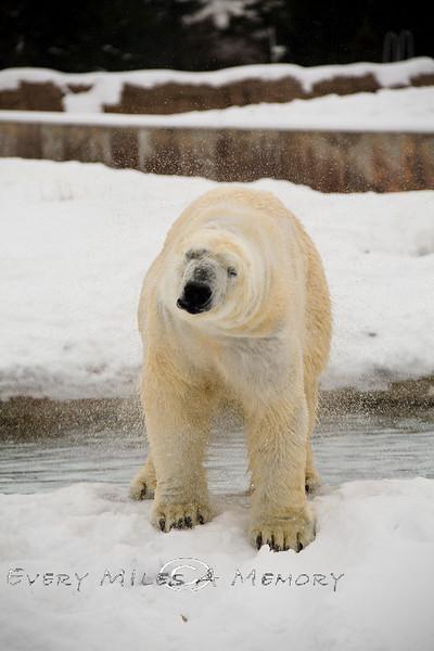 Polar Bear Tundra Setting @ The Detroit Zoo