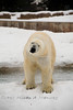 Polar Bear Tundra Setting @ The Detroit Zoo