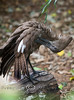 Hamerkop Stork cleaning its wings at the Detroit Zoo
