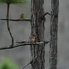 Eastern Bluebird and Pine Warbler
