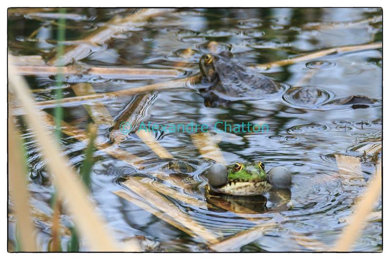 Fin avril 2014: saison des amours chez les grenouilles...