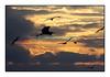 Les mouettes et le héron... Seagulls and heron...