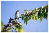 Chardonneret élégant / European goldfinch