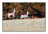 Avril 2006, chevreuils effrayés par ma présence et regagnant prestement la forêt. Canon 20D. Désolé pour le flou...