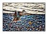 Octobre 2010. L'envol du canard. (Canon 1D MKII N)