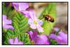 30 mars 2014: des insectes butinent dans mon jardin avec une floraison bien en avance sur la saison.