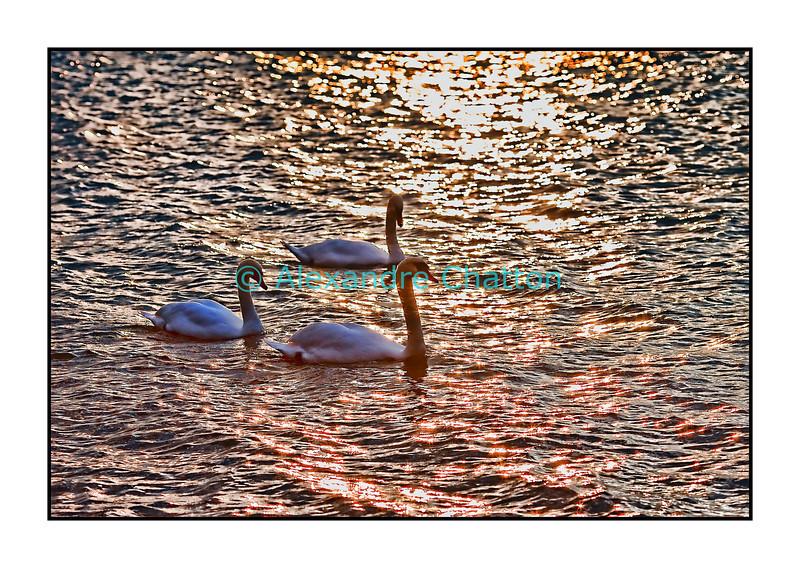 Octobre 2010. Cygnes sur le lac Léman.
