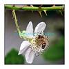Mardi 19 juin 2012: des abeilles butinent mon mûrier