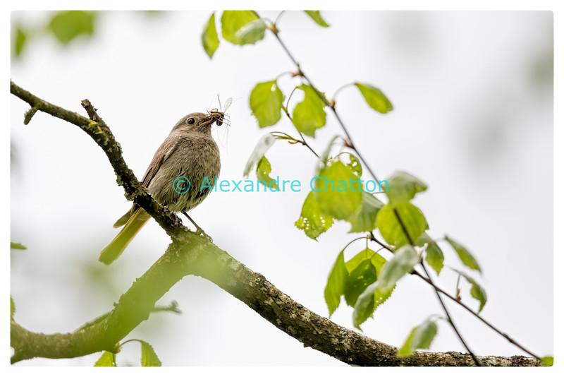 Rougequeue femelle / Female black redstart