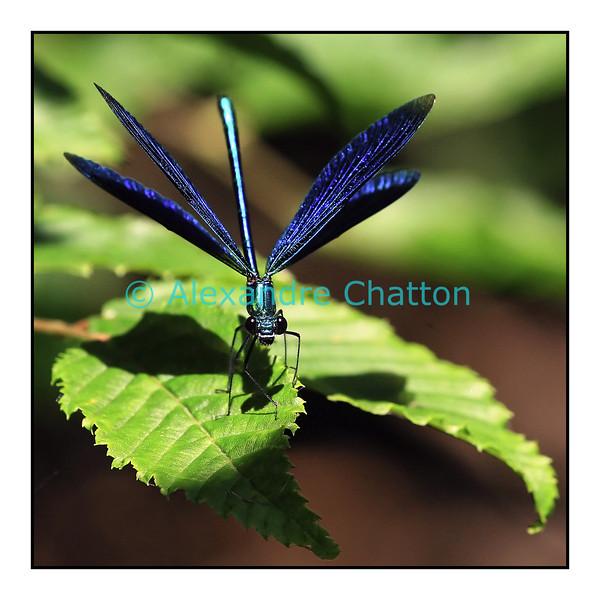 Juillet 2006. Demoiselle bleue.