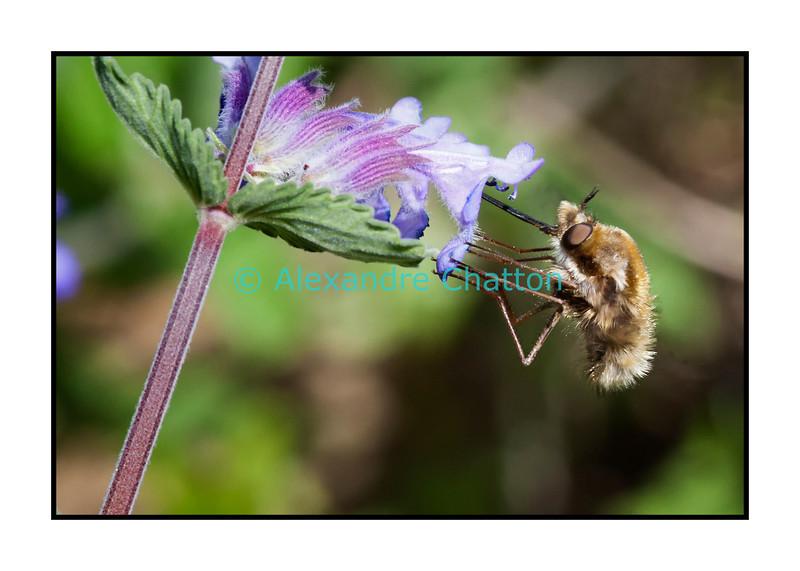 Butinage d'insecte dans mon jardin le jeudi de l'Ascension, le 17 mai 2012.