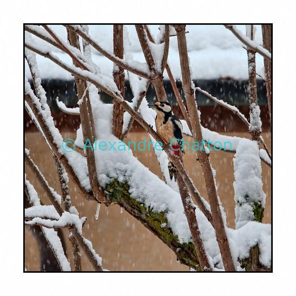 Pic épeiche la veille de Noël 2010 sur mon sureau.<br /> Woodpecker on my elderberry tree at Christmas'eve 2010