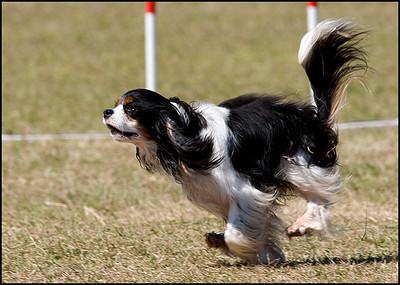 Dog Agility Trials