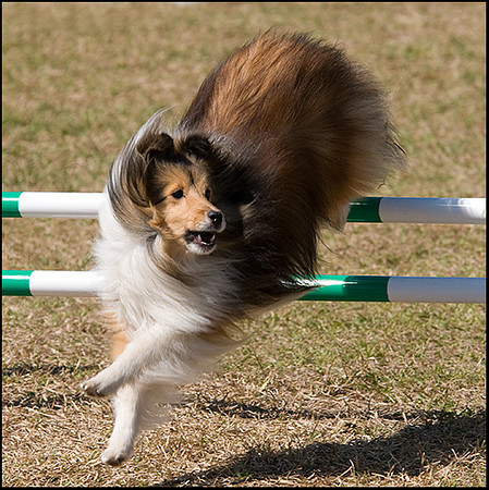 At the agility trials