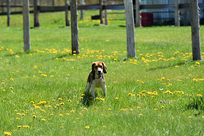 Balie The Beagle