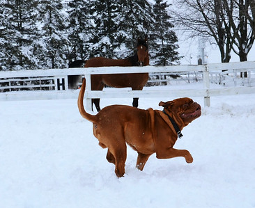 MAVERICK, Dogue de Bordeaux