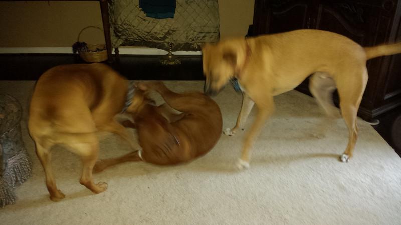 3 dog fight