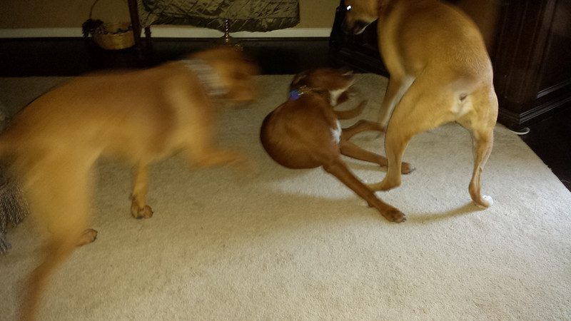 3 dog fight