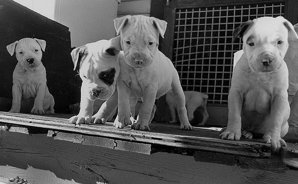 """American Bulldog pups, 1990. From left to right: <br /> <br /> Yogi, the perfect model at an early age already. She would pose many more times during her life. How fast those 14 years went by! Miss her still.<br /> <br /> Angus, pick of the litter. Huge head, huge heart. He liked to pop basketballs and later, tractor tires. Lived a happy life on a South Carolina farm.<br /> <br /> China, craziest dog I've ever had the good fortune not to own. Bad news all around but very much loved by her humans. Died at age 4 from an ingested kitchen towel.<br /> <br /> Lost track of Ralphie. When he barked it clearly sounded like """"Ralph"""". Cute eyebrow."""