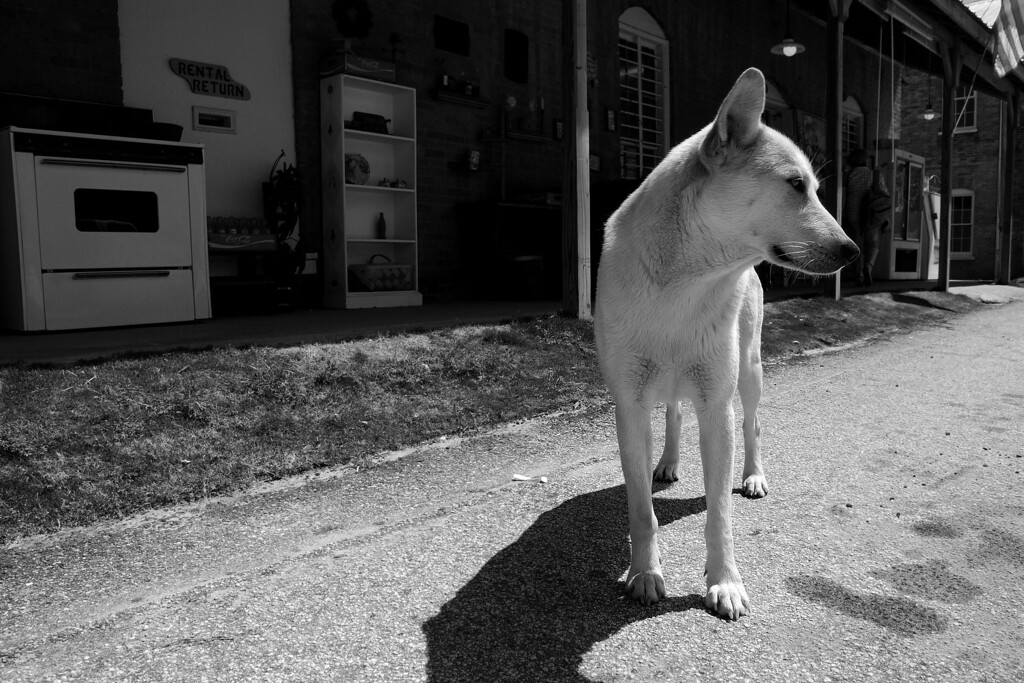 Ringo, a very mellow and free-spirited dog, keeps watch at the Bostwick Store, Bostwick, GA (Morgan County) 2008