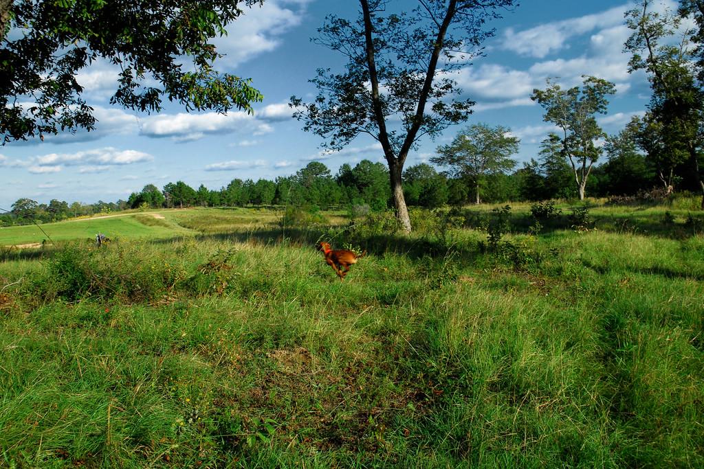 ZZ Farm, Baldwin County (GA) October 2009<br /> <br /> Vizsla running through the bird field after the AKC Field Event.