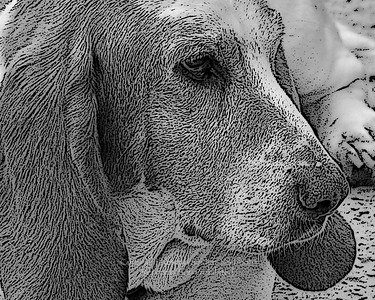 Molly the Bassett Poster Edge Black & White