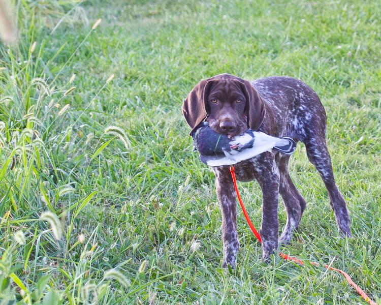Bruin in training September 2014-7 (1 of 1)