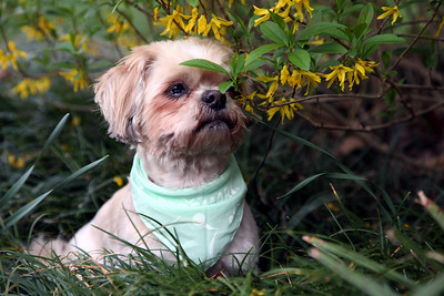 Max at forsythia bush