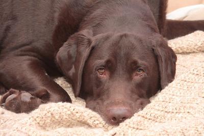 A Chocolate Labrador Retriever laying on a tan afghan blanket