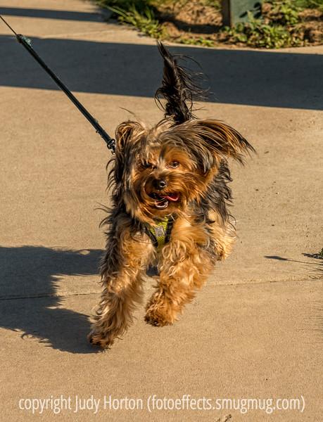 Winston on His Walk