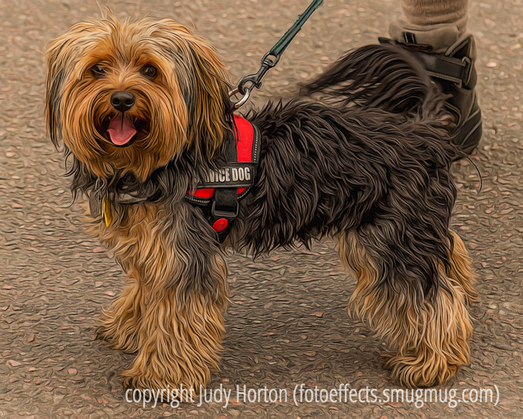 Winston, Our Yorkshire Terrier