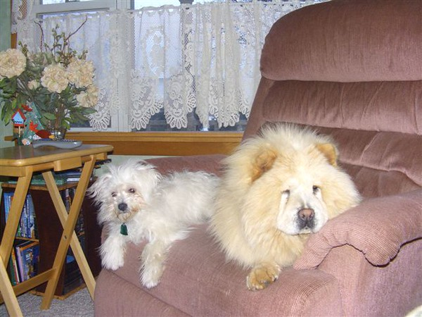 Snowflake-purebreed chow. 1 year old, housetrained. Not spayed.
