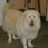 Sugar. 4 year old Chow/Kuvasz mix. Not housetrained. She is spayed.