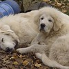 Susie Q (laying down). Purebreed Pyrenees. 1 year old...will be spayed. Not housetrained. Soooo sweet.