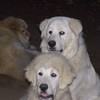 (from front to back) <br /> Thunder(adopted), Susie Q, and Sugar