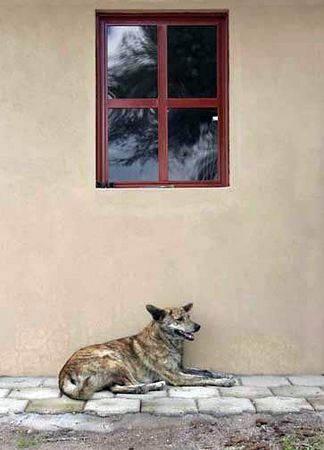 Dog under red window