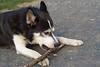 Dog gnawing stick